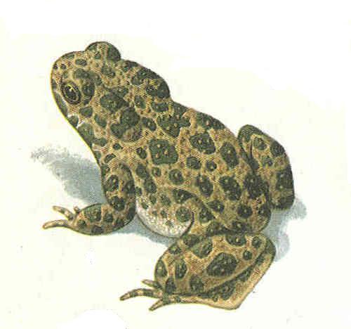 Бесхвостые амфибии Нижегородской области: лягушки, жабы и их ...