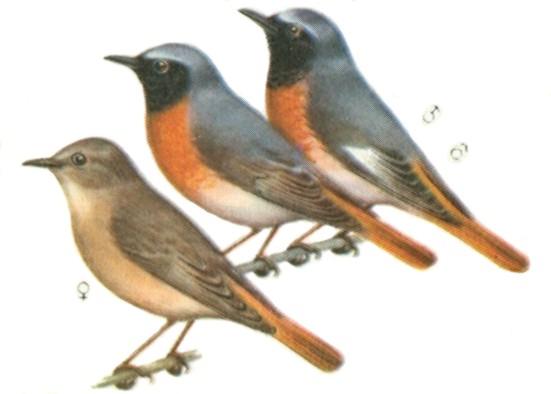 птицы нижегородской области названия и фото
