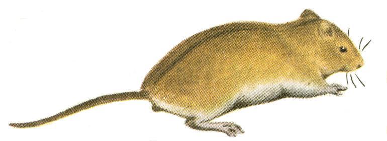 полевая мышка картинки для детей